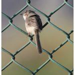 Wren - Warbler