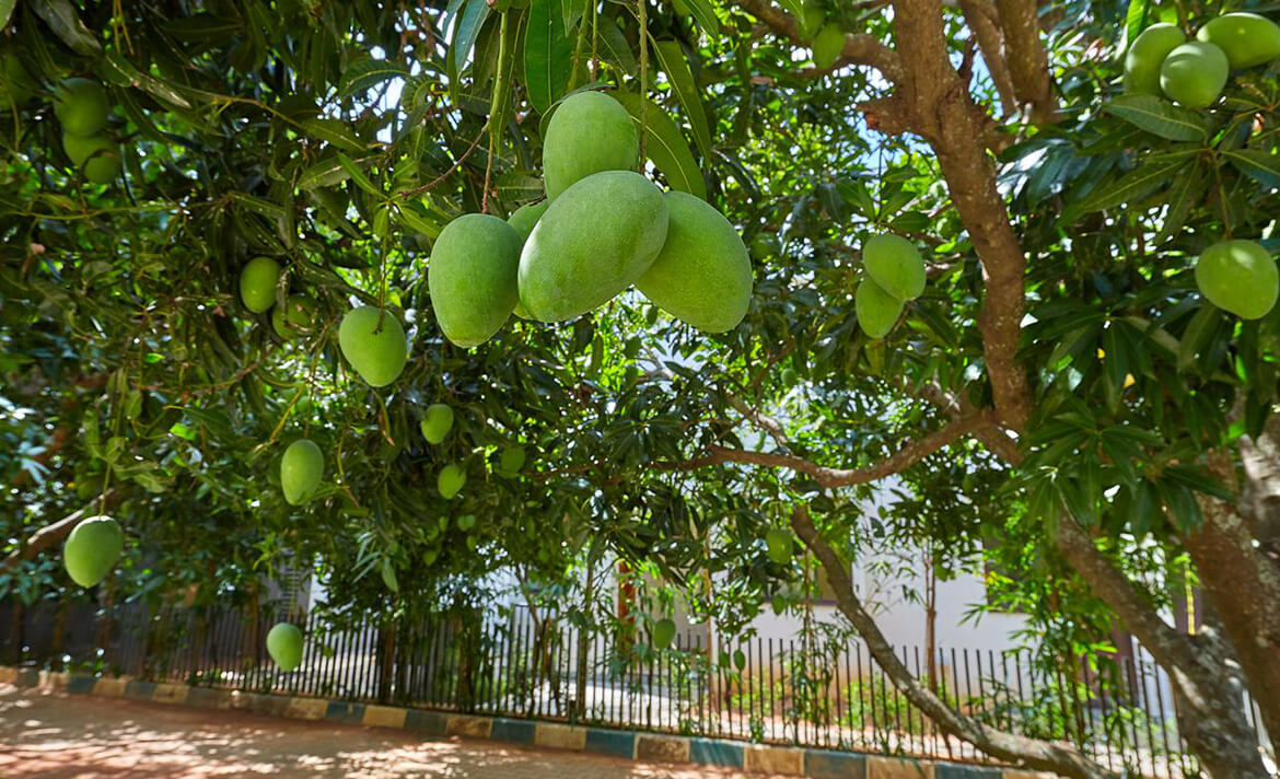 An Ode to Mangoes Grown at Under the Sun